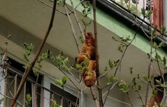 حيوان مقلق على شجرة في بولندا تبيّن أنه قطعة كرواسان